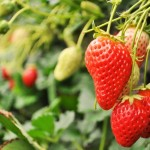 豪雨によるイチゴの被害額2億円!支援のイチゴ苗が宮城県から栃木県に届く