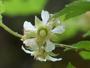 出典http://plants.minibird.jp/memo/memo0905/memo0905.html