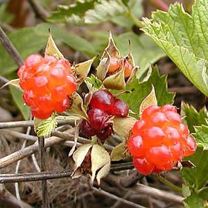 出典:http://had0.big.ous.ac.jp/plantsdic/angiospermae/dicotyledoneae/choripetalae/rosaceae/nawasiroichigo/nawasiroichigo.htm