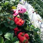 苺の楽園ハート&ベリーでいちご狩りとオリジナルジェラート作りを楽しもう