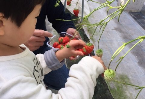 淡路島でいちご収穫体験したよ~