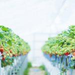 千葉県イチオシの新しい品種「チーバベリー」