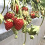春の三浦半島でイチゴ狩り!神奈川県三浦市の長島農園訪問記