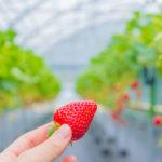 風邪予防にはいちご!効果的な食べ方と補給できる栄養分